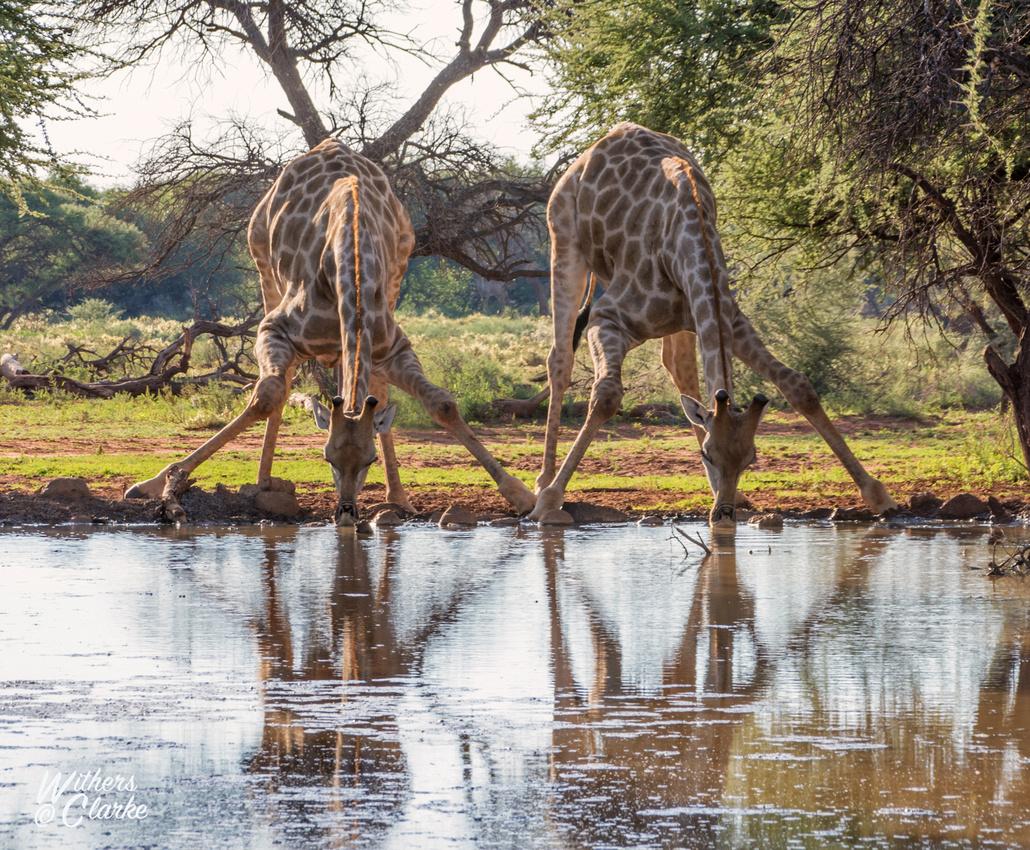 Two Giraffes Drinking