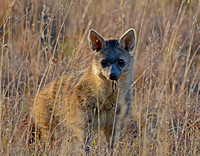Aardwolf Standing In Long Grass