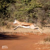 Springbok Jumping