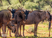 Blue Wildebeest group