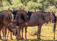 Blue Wildebeest group