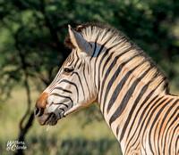 Burchell's Zebra Portrait