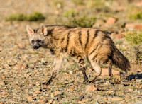 Aardwolves, Jackals
