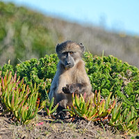 Juvenile Baboon Foraging