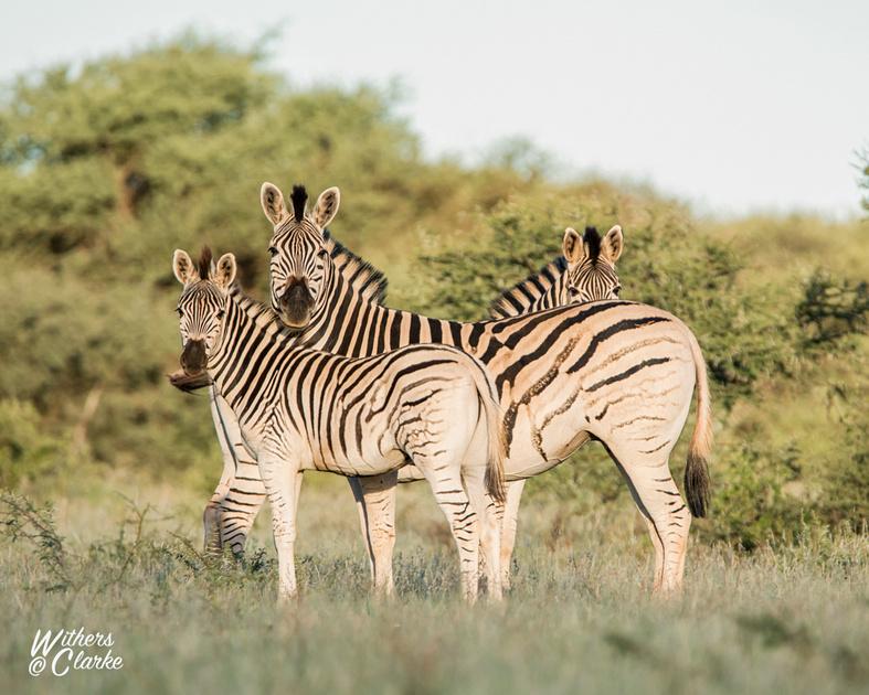 Burchell's Zebra Family Group
