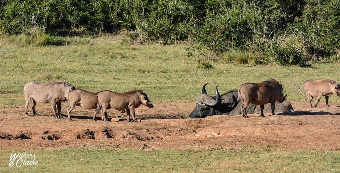 African Buffalo and Warthogs