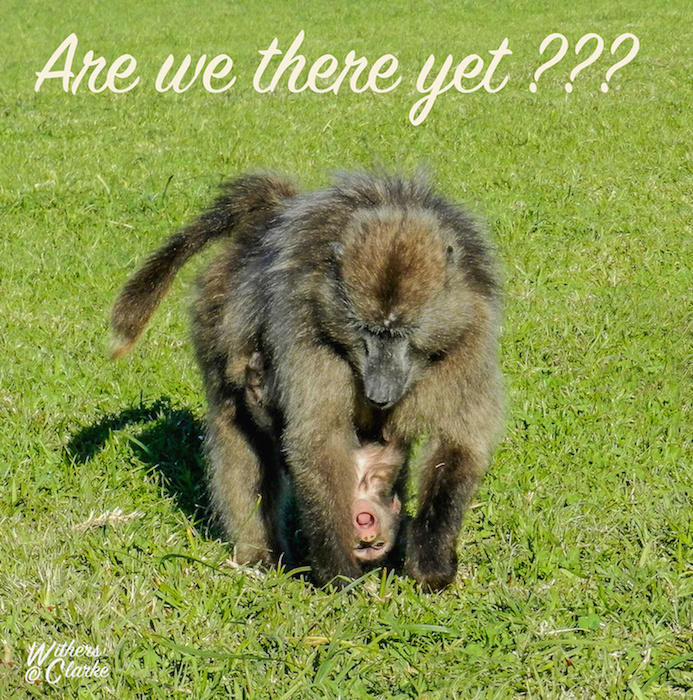 Chacma Baboon, Cape Point, South Africa