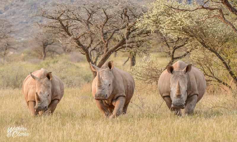 Three White Rhinos in grassland