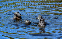 Chacma Baboons Swimming