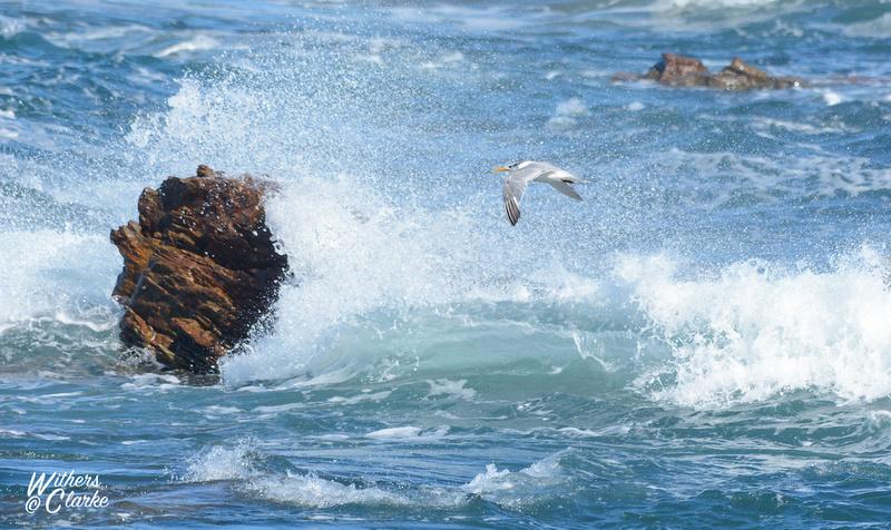 Swift Tern In Flight